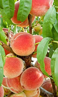 (3 Gallon Bare-Root) Harvester Peach Tree, One of The Highest Yielding Peach Trees, Self Pollinating, Large Sized Peach, Bright-Red Skin. Grafted Plant.