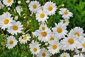 HOT - Daisy, Shasta, Dwarf, Perennial, White Flower, 445 Seeds! GroCo