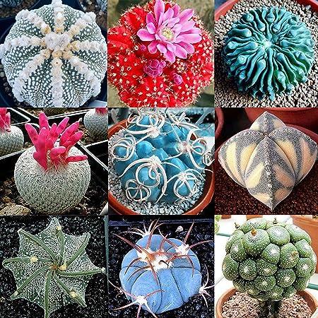 Las semillas de cactus, Cactus 100 piezas Semilla Mini Fácil Cultivando Ligera decorativo Bonsai Semilla para jardinería al aire libre