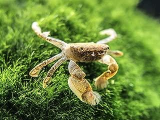 Aquatic Arts 5 Live Freshwater Pom Pom Crabs   Real Living Nano Aquarium Fish Tank Pet   Betta/Danio/ Rasbora/ Guppy Compatible