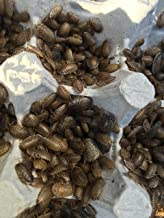 500 Small Dubia Roaches + 10% Overcount