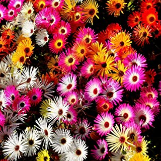 Livingstone Daisy Mix 500+ Seeds Flower Garden Border Hedge Spring Autumn Dwarf