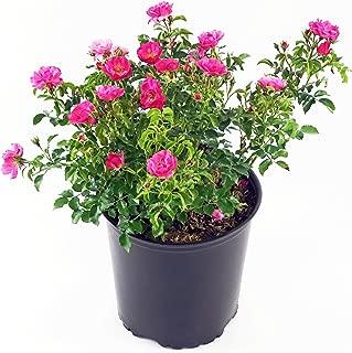 Best rose carpet plant Reviews