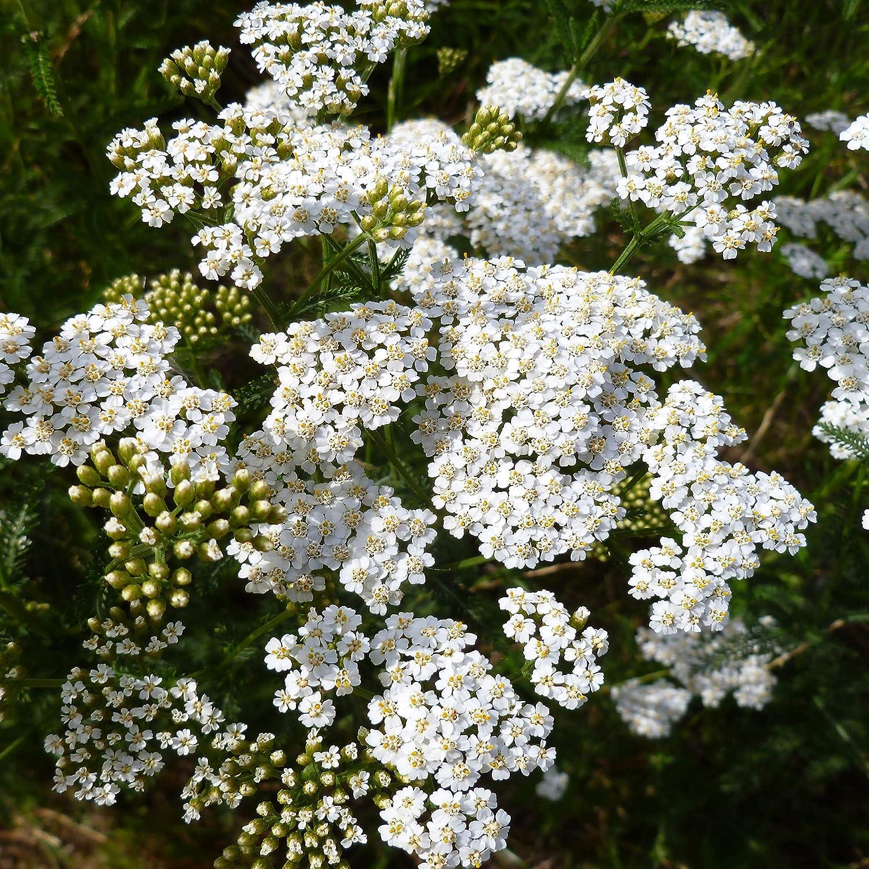 Outsidepride Yarrow Ranking TOP7 White Virginia Beach Mall Wildflower Seeds - 5000