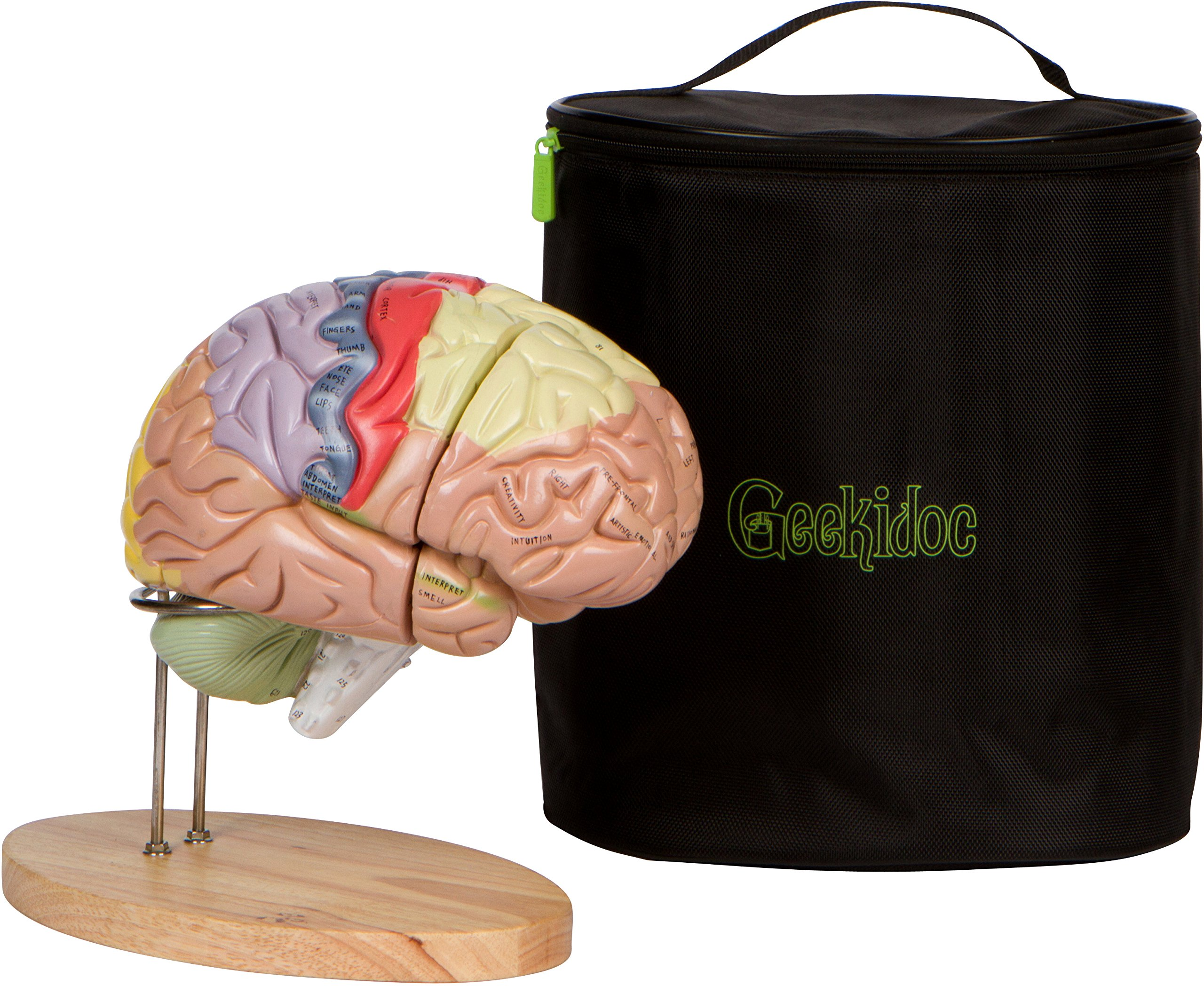 Human Brain Model Numbered Carrying