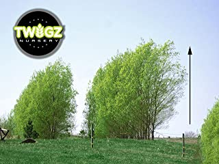 18 Hybrid Willow Trees - Ready to Plant - Privacy and Shade - Indoor/Outdoor Live Plants