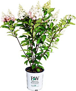 Proven Winners - Hydrangea pan. Pinky Winky (Panicle Hydrangea) Shrub, white to pink flowers, #2 - Size Container