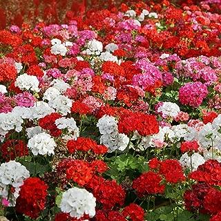 Best bigroot geranium seeds Reviews