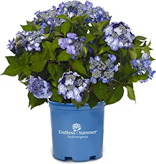 Best hydrangea macrophylla endless summer the original Reviews