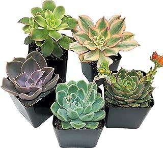 Best miniature succulents for sale Reviews