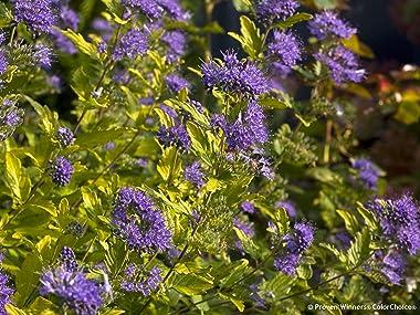 Sunshine Blue II Bluebeard (Caryopteris)Live Shrub, Blue Flowers and Bright Yellow Foliage, 4.5 in. Quart