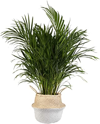 Costa Farms Live Areca Palm in Seagrass Basket, 2-Foot, Natural