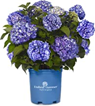 Endless Summer Collection - Hydrangea mac. Endless Summer BloomStruck (Reblooming Hydrangea) Shrub, RB purple, #3 - Size Container
