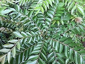 Curry Leaf Tree (Murraya Koenigii) -Large Plant