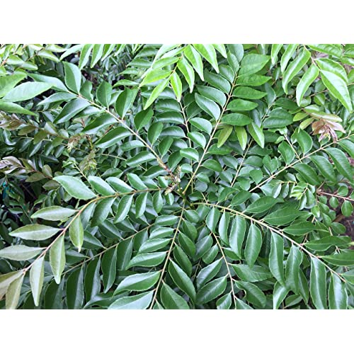 Neem Tree Plant: Amazon com