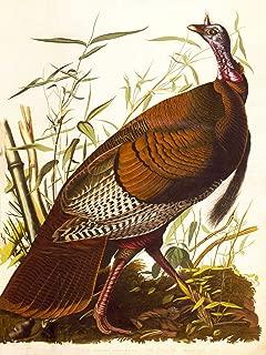 Paintings Drawing Animal Bird Wild Turkey Illustration Cool Poster Print