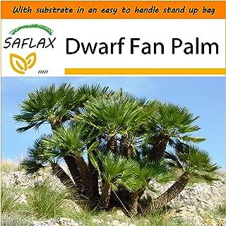 SAFLAX - Garden in the Bag - Dwarf Fan Palm - 10 seeds - Chamaerops humilis