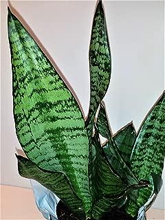 Hirt's Superba Robusta Snake Plant - Sanseveria - Impossible to kill! - 4
