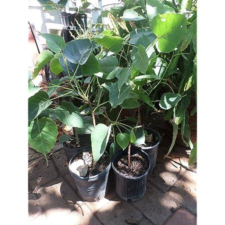 1  Plant Ship in 1 Gal Pot 1 to  2 Feet Tall Moringa Tree