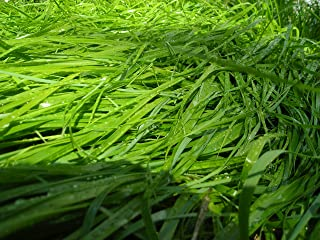 20 Sweet Grass Seeds (Heirochloe Odorata) Grown By West Seed Farm