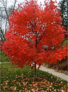 Best red blaze maple Reviews