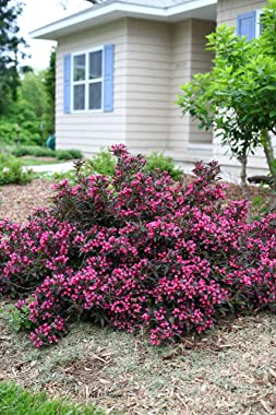 Proven Winner Spilled Wine Weigela, 2 Gal, Bright Pink Flowers and Deep Purple Foliage