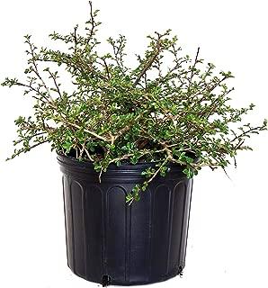 cranberry cotoneaster shrub