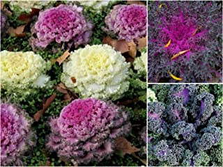 150 Mix Flowering Kale Cabbage Seeds Rare, Osaka Mix Flowering Kale - Ornamental Kale Peacock Red - Flowering Kale Seeds Yokohama Red