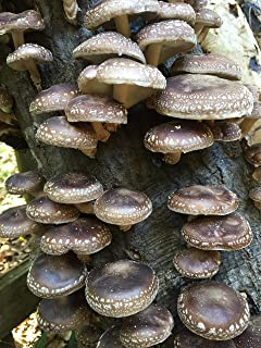 100 Shiitake Mushroom Spawn Plugs/Dowels to Inoculate Logs or Stumps to Grow Gourmet and Medicinal Mushrooms - Grown Your Own Mushrooms for Years to Come - Makes a Perfect Gift or a Project
