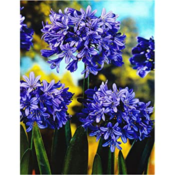 3 New Agapanthus Twister  bicolour flower hardy  garden perennial plants ex 2L