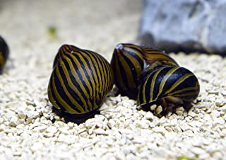 10 Zebra Nerite Snails