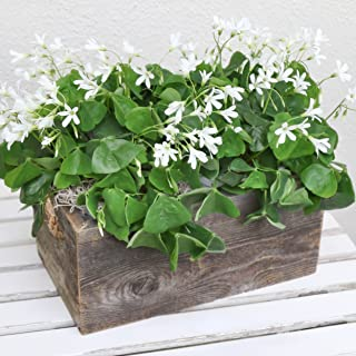 Easy to Grow Oxalis Regnelli Bulbs Pre-Planted in Reclaimed Wood Rectangle | Blooms in 6-8 Weeks Grows Anywhere Indoors