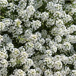 Nianyan Rare whiteSweet alyssum (Lobularia Maritima) pastel carpet Flower 700+Seeds