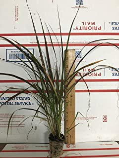 2 Red Fountain Grass - Live Plants