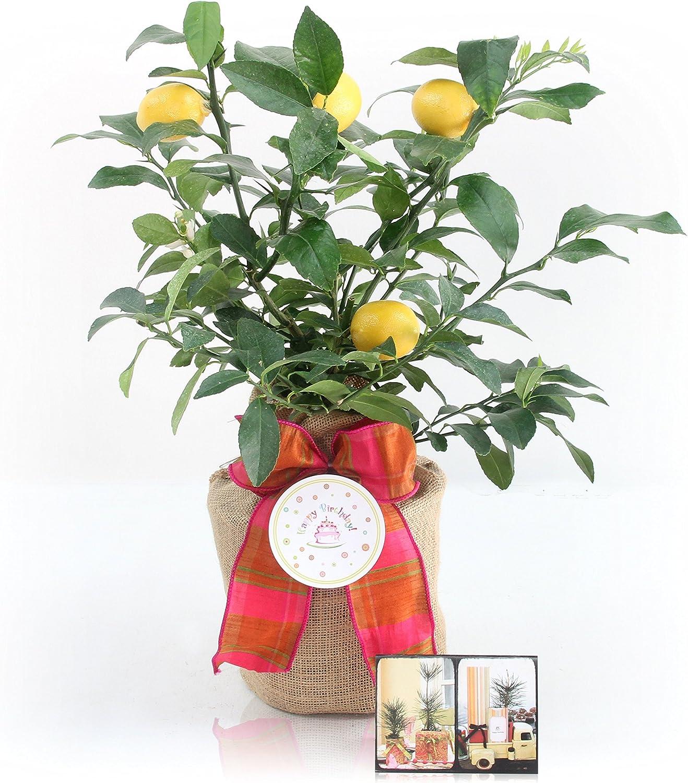 Happy Birthday Meyer Lemon Gift Tree security The Magnolia Company 5% OFF G - by