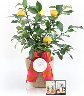 Happy Birthday Meyer Lemon Gift Tree by The Magnolia Company - Get Fruit 1st Year, Dwarf Fruit Tree with Juicy Sweet Lemons, No Ship to TX, LA, AZ and CA