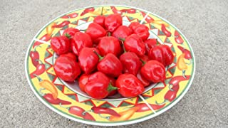 Malawi Piquante Pepper 10+ Seeds