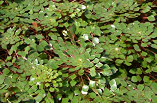 mosaic plant ludwigia sedioides