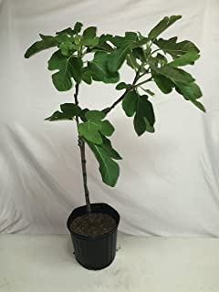 CELESTE FIG TREE - 2 Year Old 3/4 Feet Tall