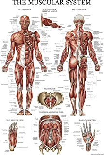 Muscular System Anatomical Poster - Laminated - Muscle Anatomy Chart - Double Sided (18 x 27)