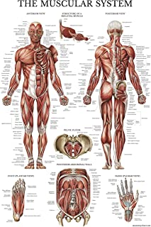 canine muscle anatomy chart
