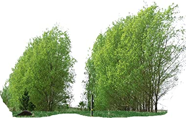 15 Hybrid Willows shade privacy fast growing easy big Austree grows 12' 1st season thick hedge fence