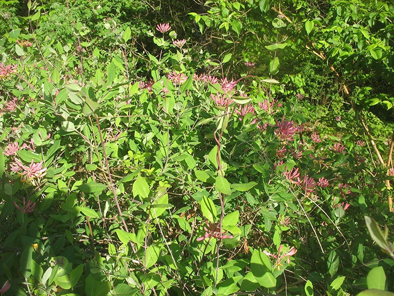 LONICERA 'GOLDFLAME'- Honeysuckle Vine- Fragrant- Starter Plant-DORMANT