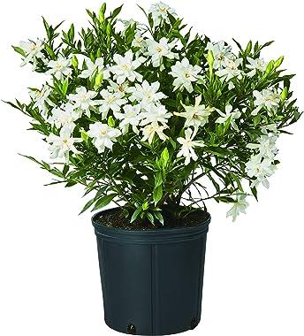 Shrub Frostproof Frost Proof Gardenia 2.5 Qt, White Blooms