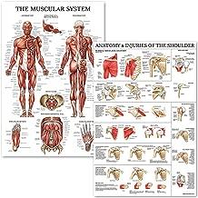 Muscular System & Shoulder Anatomy Poster Set - Laminated Anatomical Muscle and Shoulder Charts - 2 Poster Set