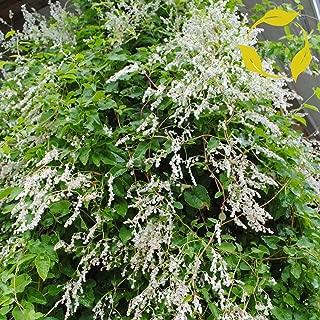 Silver LACE Vine Polygonum Aubertii 10 Seeds