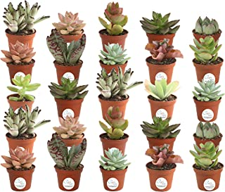 Costa Farms Unique Succulents Indoor Plants 25-Pack, Grower's Choice, 2-Inches Tall