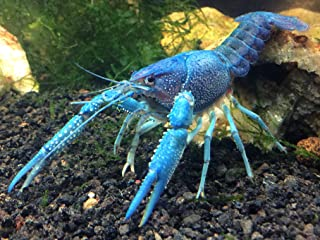 Aquatic Arts 1 Male Electric Blue Crayfish | Live Freshwater Aquarium Lobster / Crawfish / Crawdad / Real Living Fish Tank Pet