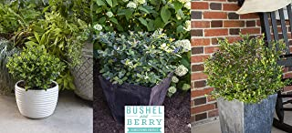 Bushel and Berry Blueberry Collector's Edition – 3 Piece – Cottage Hill – Blueberry Plants