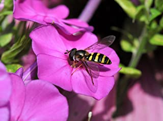 Butterfly Attracting Flower Selection List Collection Butterflies zellajake Bee (Phlox Mixed Colors 200)
